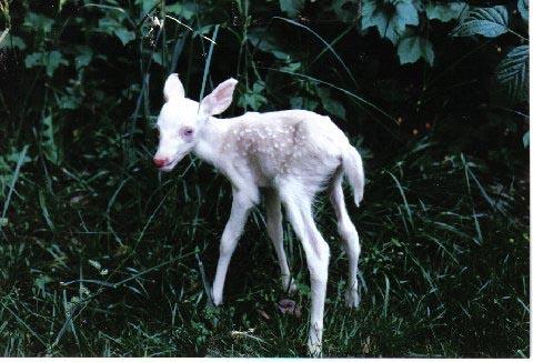 albinofawn.jpg